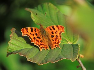 Comma butterfly by Edward Parnell