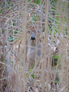 Chinese Water Deer at NWT Upton Broad and Marshes