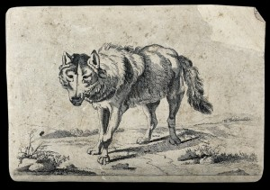 A wolf on the prowl. Etching after P. Potter, 1659.